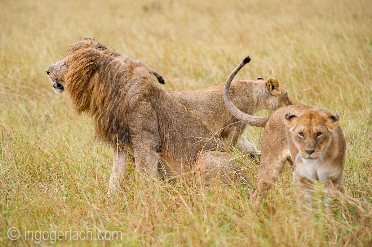 Löwen: Kampf der Giganten_D3S3948