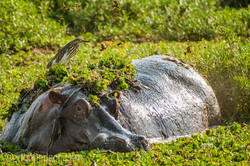 Flusspferd im Salat_IWG4532