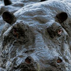 Flusspferd © Ingo Gerlach_D724356