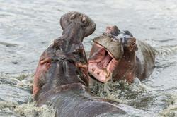 Hippos palavern_D3S7799