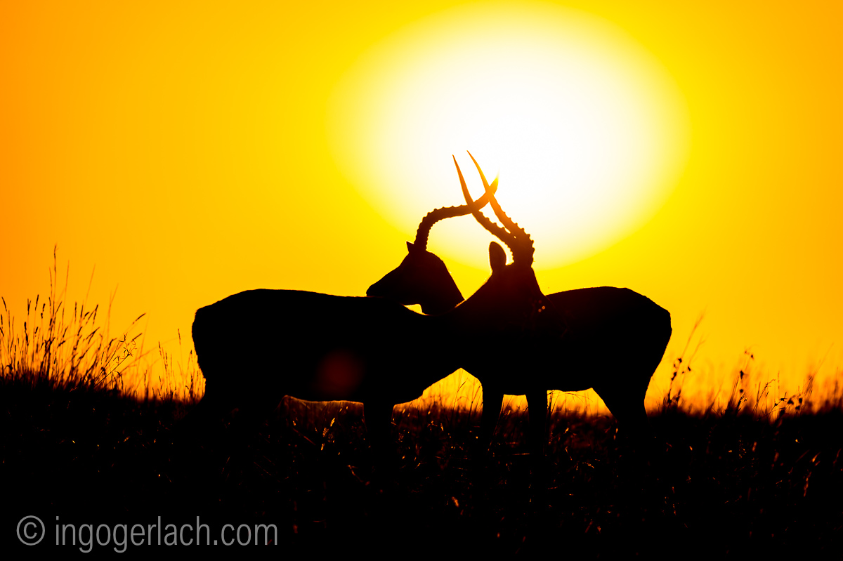 Impala at sunrise_D4N_2705