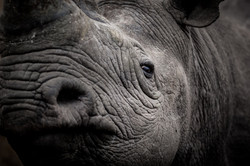 Nashorn © Ingo Gerlach_IGB3753