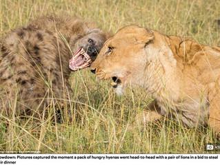 Hyäne vs. Löwe...