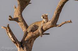 Leopard_IG7_3416