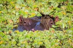 Flusspferd im Salat_IWG0637