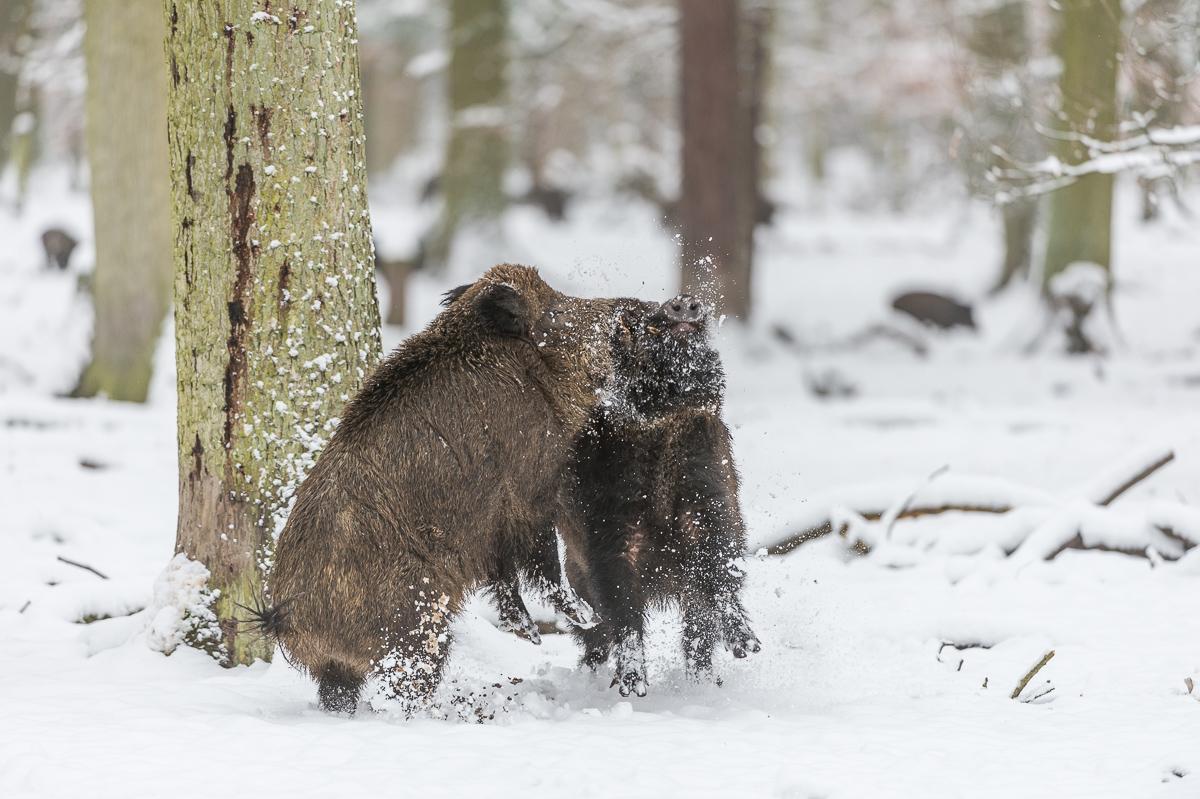 Wildschweine © Ingo Gerlach_D4N_3330