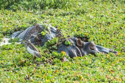 Flusspferd im Salat_IWG4457