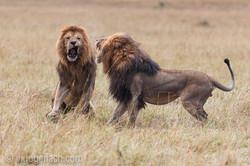 Löwen: Kampf der Giganten_D3X8140