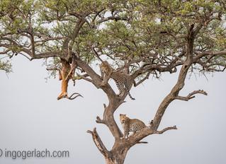 Die Beute der Leoparden...