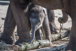 Baby_elephant_Zoo_Cologne_D50_2848