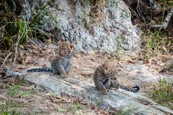 Mama Leopard mit ihren Babys_IG35773