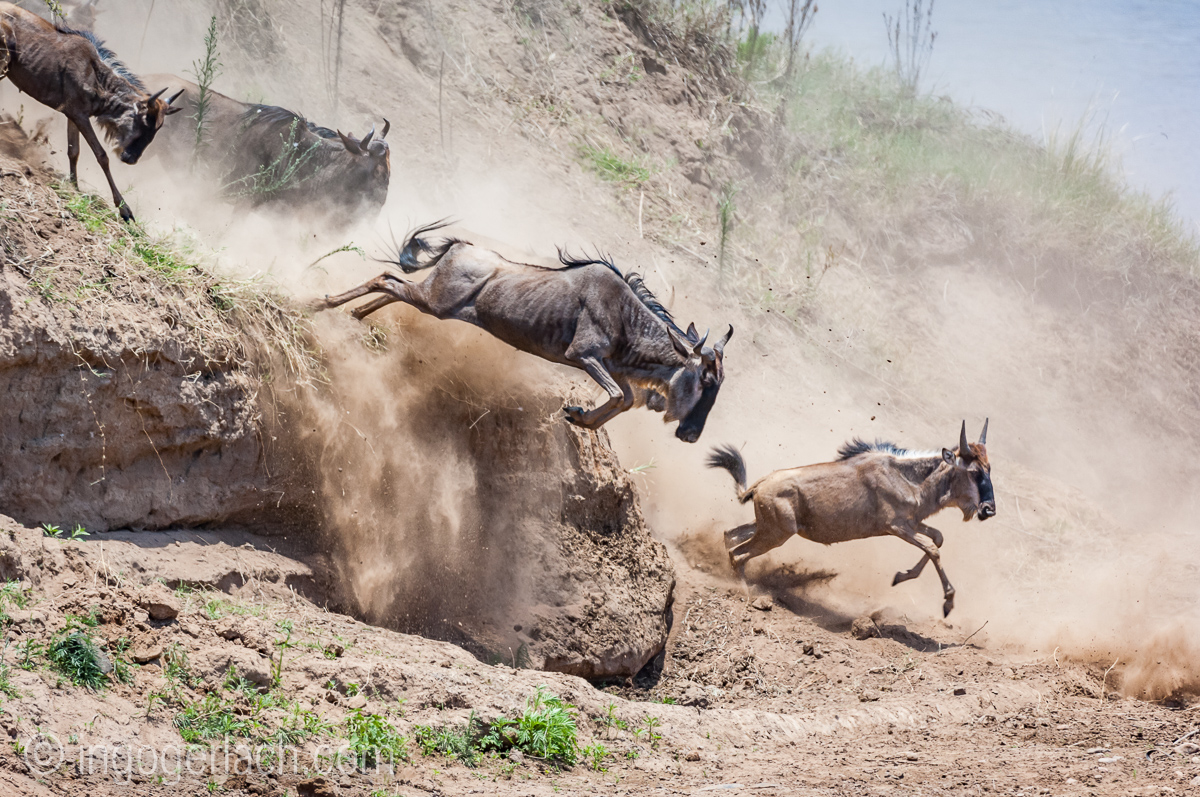 wildebeest jump to death_IWG4820