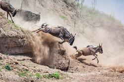 wildebeest jump to death_IWG4820