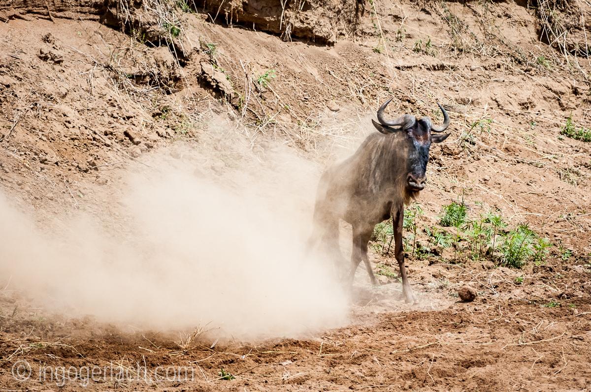 Gnu | Wildebeest_IWG4400