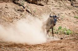 Gnu   Wildebeest_IWG4400