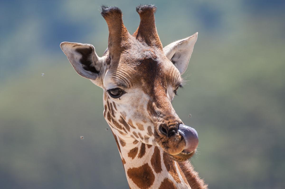 Giraffe © Ingo Gerlach_IGB8624