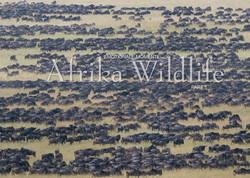 Kalender Afrika Wildlife