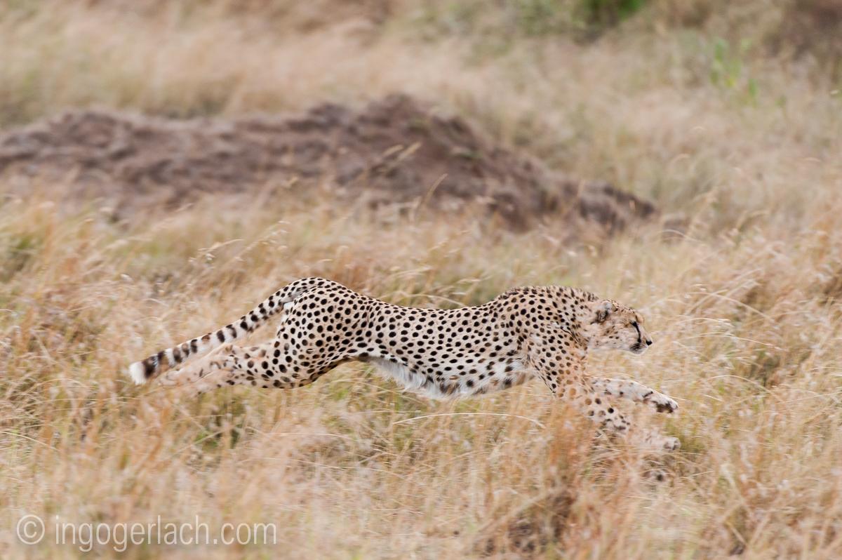 Geparden auf Jagd_IG37599