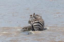 Krokodil killt Zebra_D4N_4651