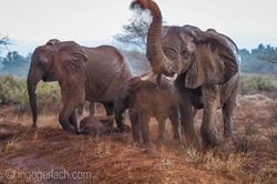 Elefanten im Regen_IGB7641