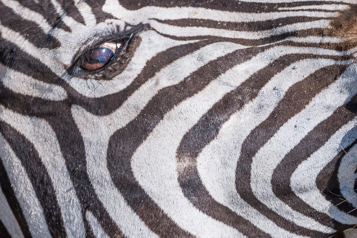 Zebra © Ingo Gerlach_D8N6383