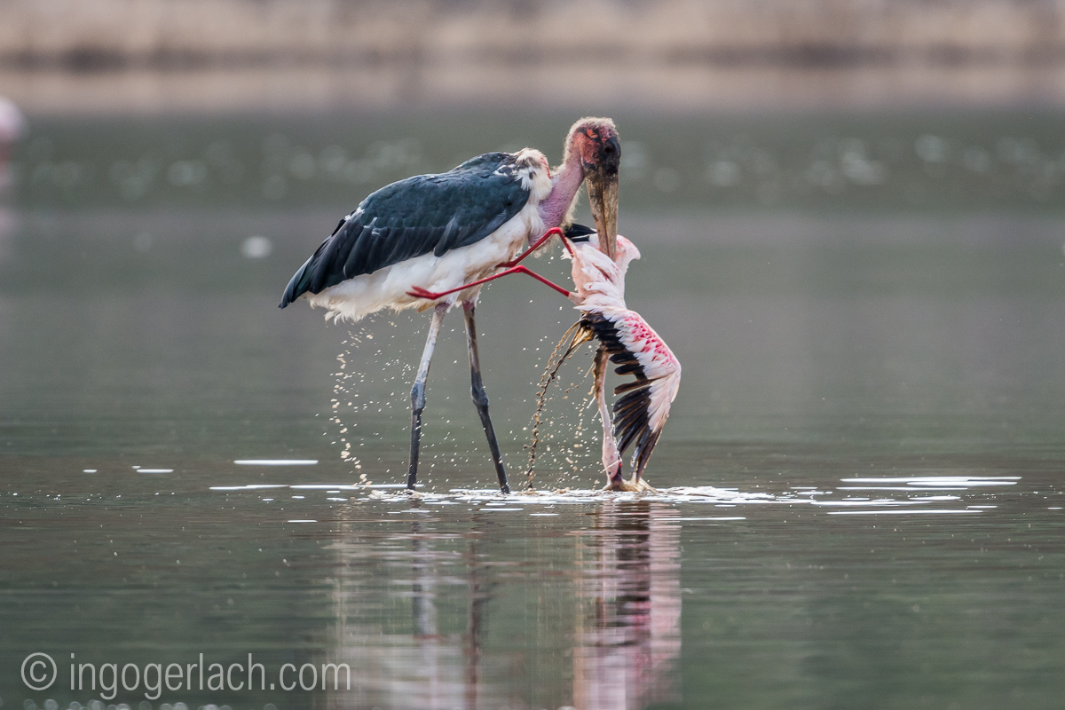 Marabu vs Flamingo_D722106