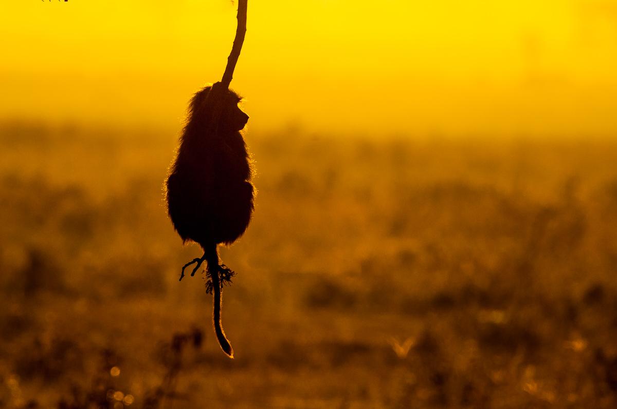 Pavian © Ingo Gerlach_IGB9160