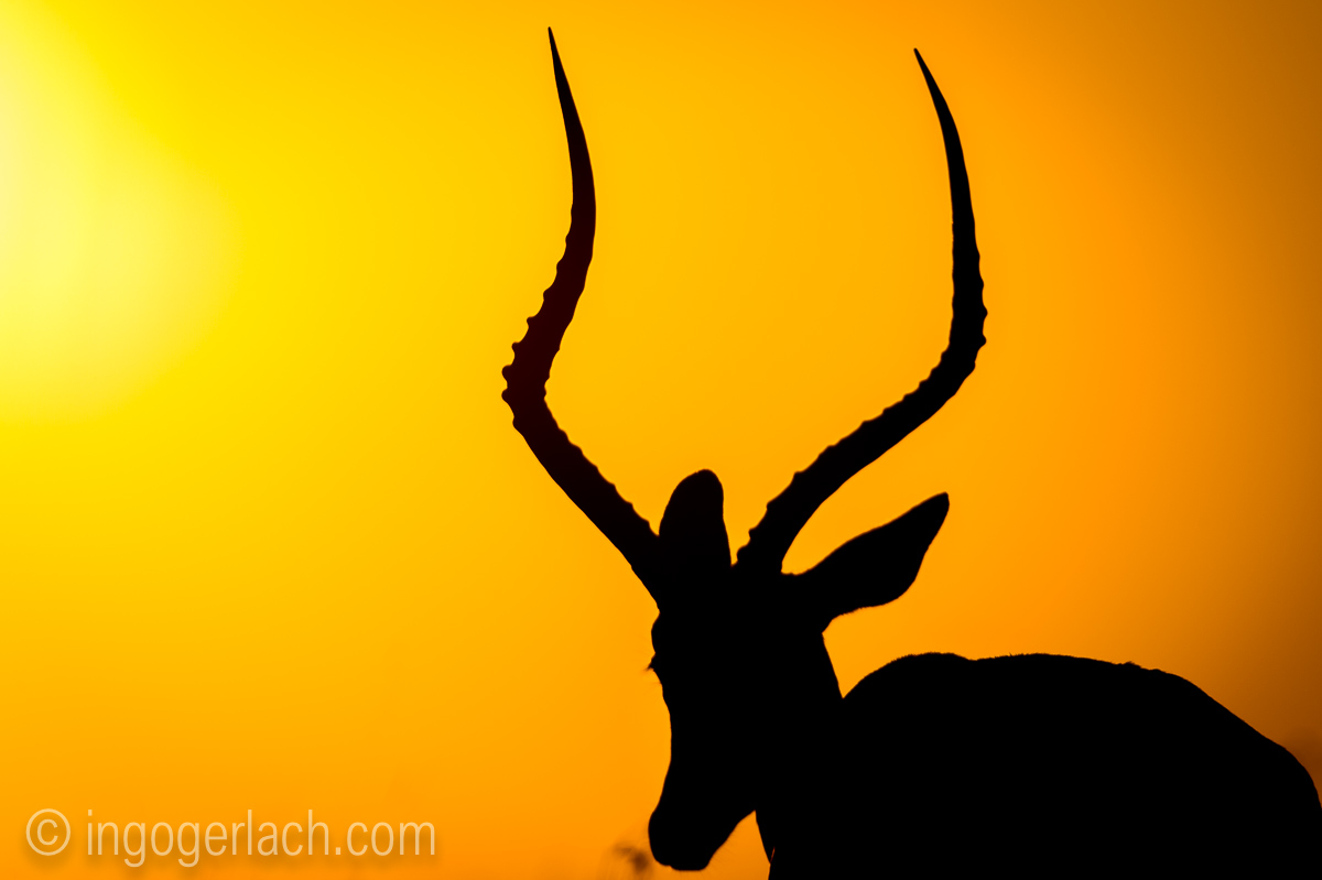 Impala at sunrise_D4N_2695