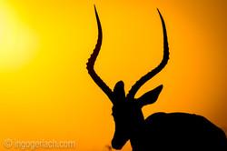 Impala at sunrise_D4N_2695
