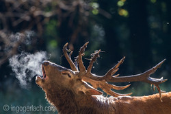 Smoking Red-Deer in the rut...