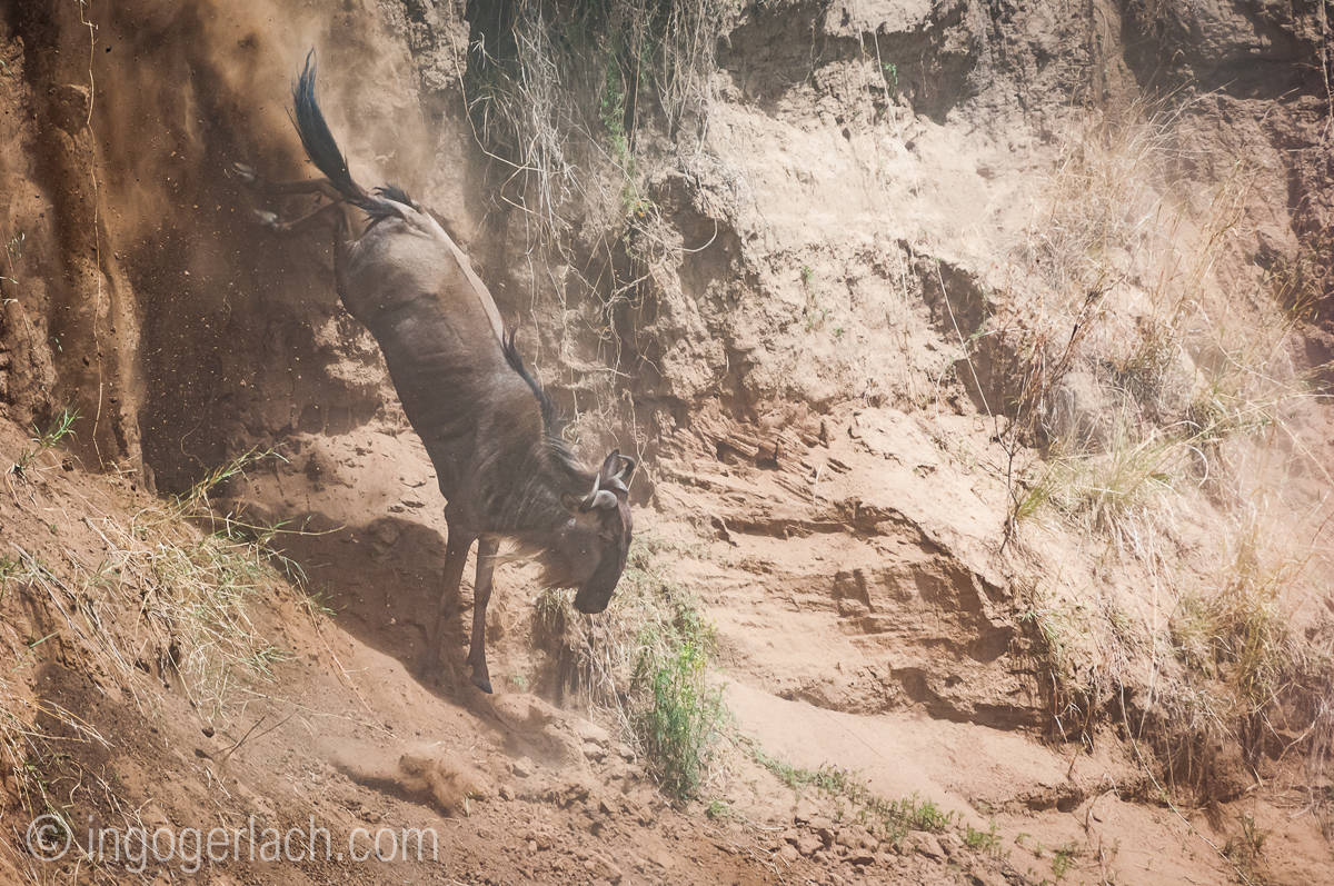 wildebeest jump to death_IWG4375