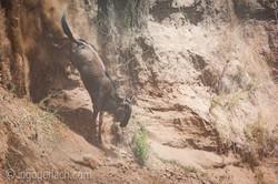 wildebeest jump to death_IWG4375