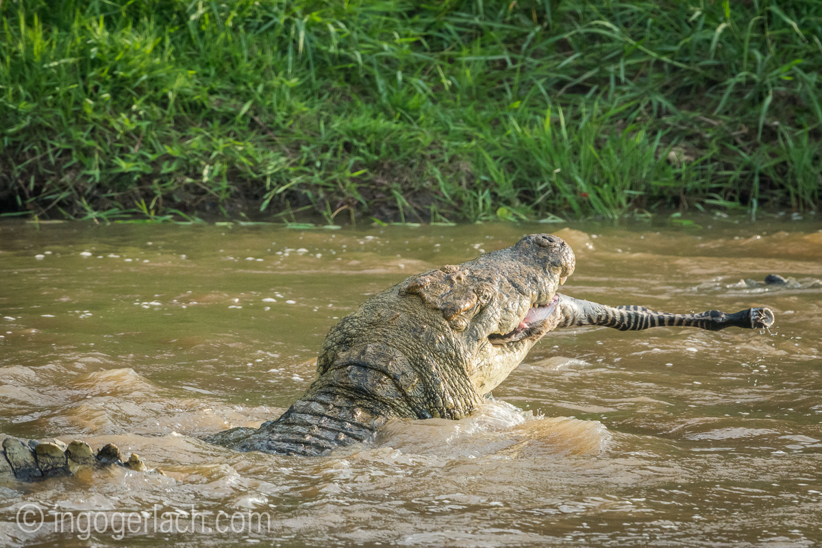 Krokodil frisst Zebra_D726729