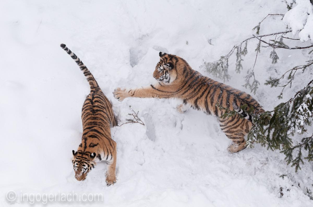 Sibirischer Tiger_IGB4189