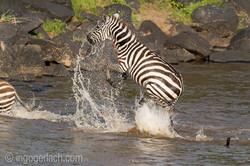 Leopard_Krokodil_Zebra_D4N_4374