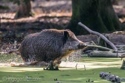 Wildschwein im Wasser_D8N2923
