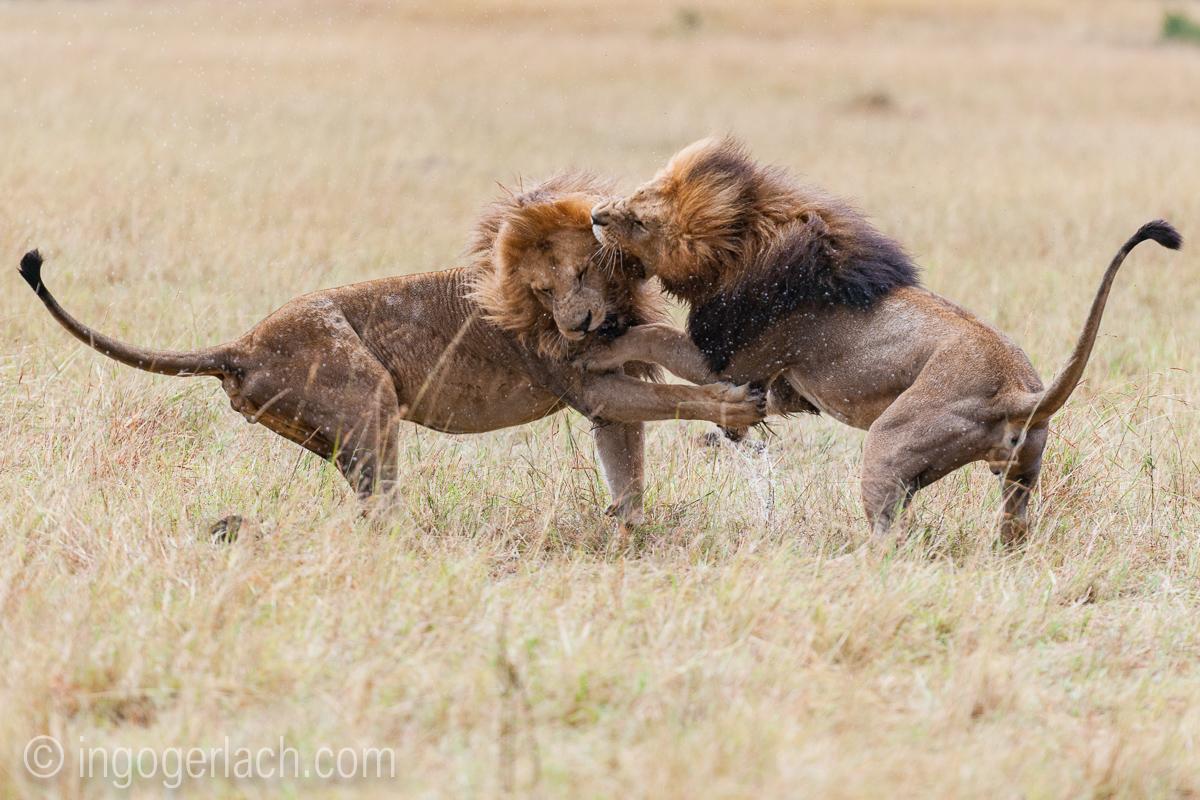Löwen: Kampf der Giganten_D3X8135