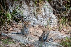 Mama Leopard mit ihren Babys_IG35778