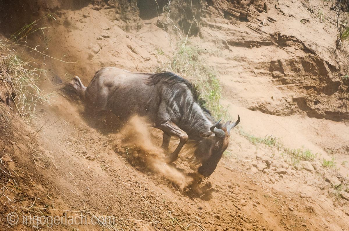 Gnu | Wildebeest_IWG4380