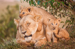 Löwenfamilie © Ingo Gerlach_IWG1358