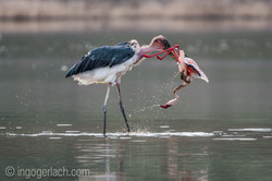 Marabou killed a Lesser Flamingo