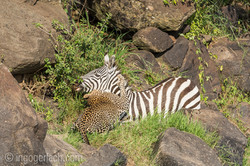 Leopard_Krokodil_Zebra_D4N_4424