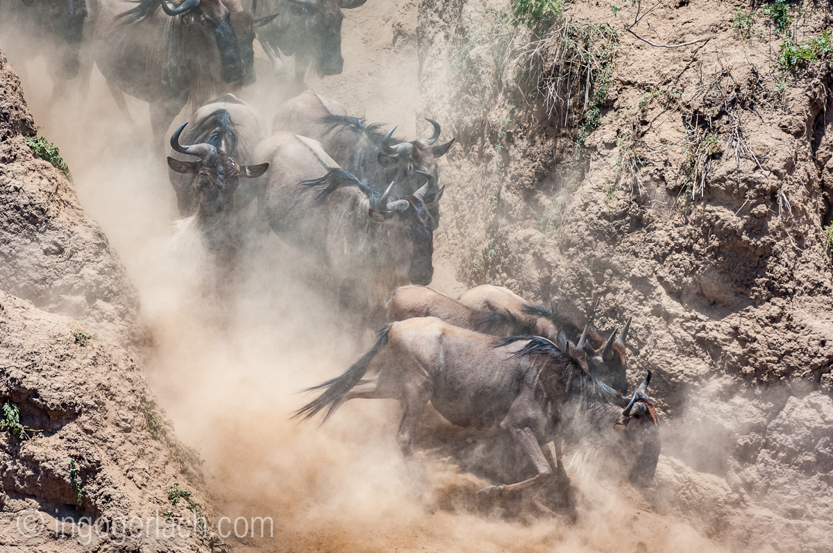 wildebeest jump to death_IWG4823
