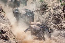 wildebeest jump to death_IWG4823