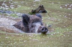 Wildschwein im Wasser_D4N8349