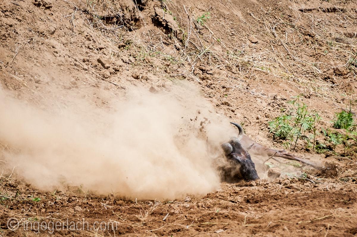 Gnu | Wildebeest_IWG4396