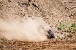Gnu   Wildebeest_IWG4396