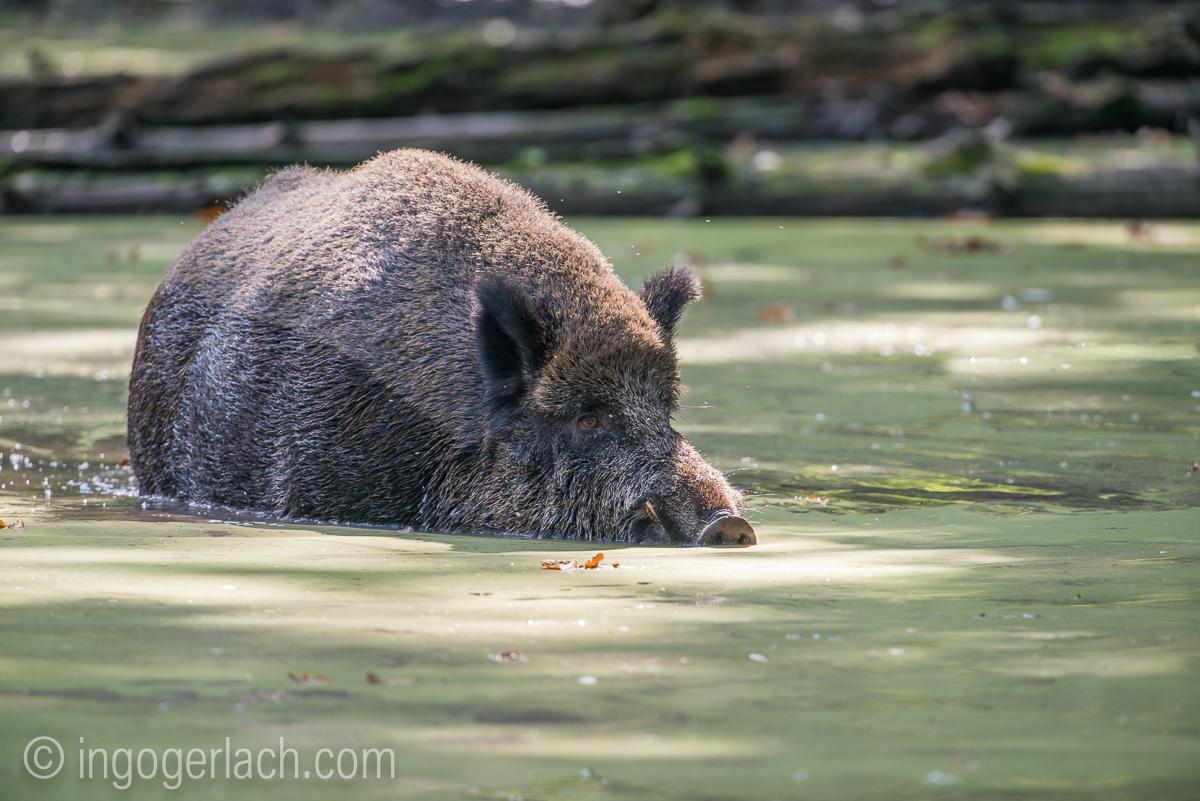 Wildschwein im Wasser_D8N2754