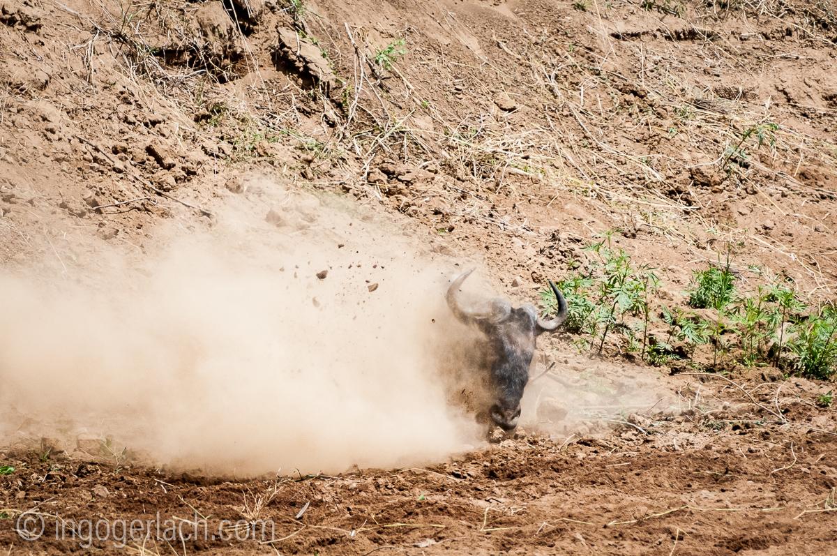 Gnu | Wildebeest_IWG4397