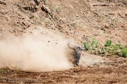 Gnu   Wildebeest_IWG4397